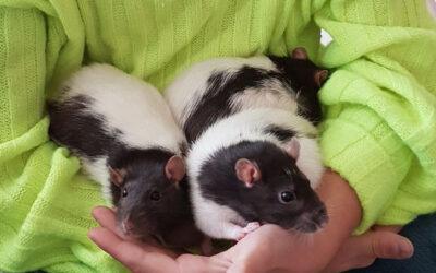 Ein Trio Rattendamen