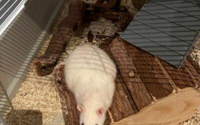 Einsames Rattenmädel